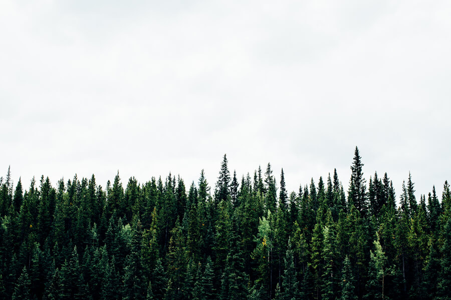 The edge of a forest, showing rows of evergreen treetops.